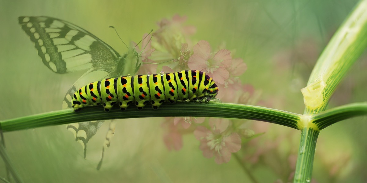 The metamorphosis of a caterpillar
